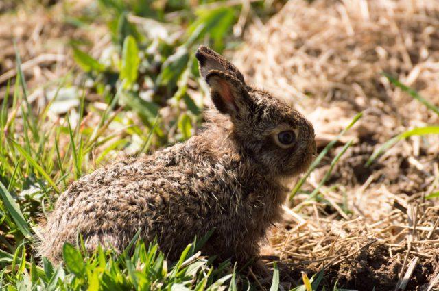 hare-696653_1920