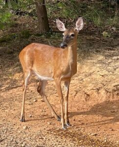 Deer at Lost Indian Camp