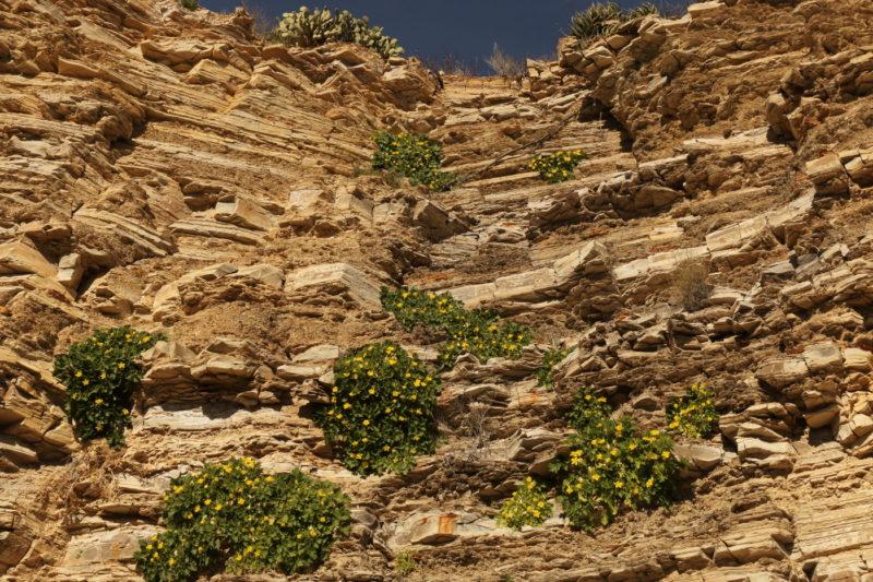 Big Bend National Park - Yellow flowers blooming on the cliffs out to the Hot Springs Trail