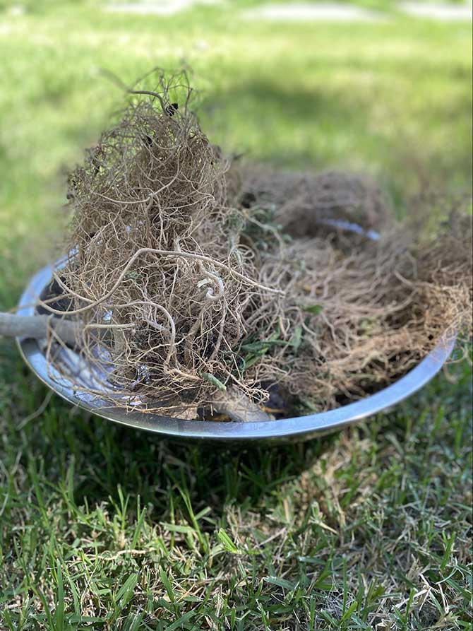 hemp roots in a bowl