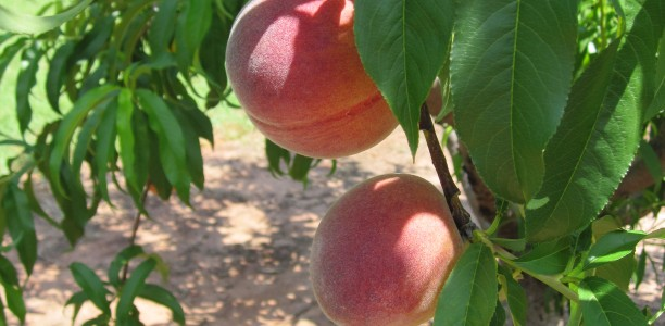 The Time is Ripe for Some Sweet Georgia Peaches and Some Recipes Done the Southern Way