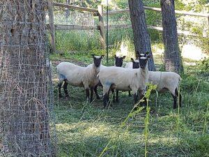 clun ewes