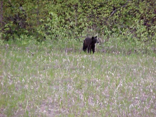Blackbear-in-the-meadow