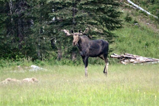 Bull-Moose-in-the-Meadow