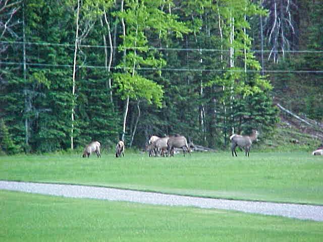 Elk-in-the-Meadow