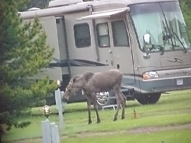 Young-moose-checking-things-out