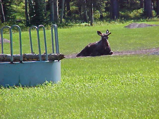 Young-moose-relaxing