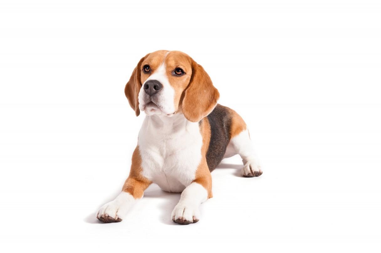 Beagles make great companions