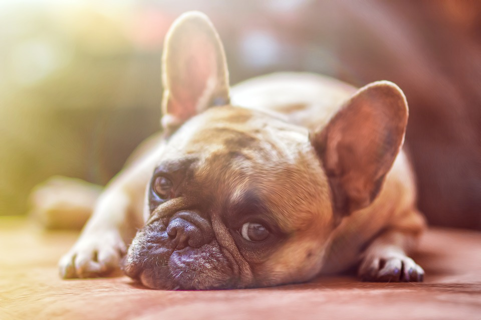 dogs in bed with you, how dogs sleep, let sleeping dogs lie, why dogs curl up at night, dogs and sleep