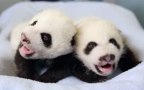 Baby panda twins born at the Atlanta Zoo