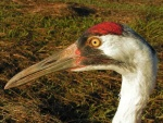 Whooping Crane adult with red crest