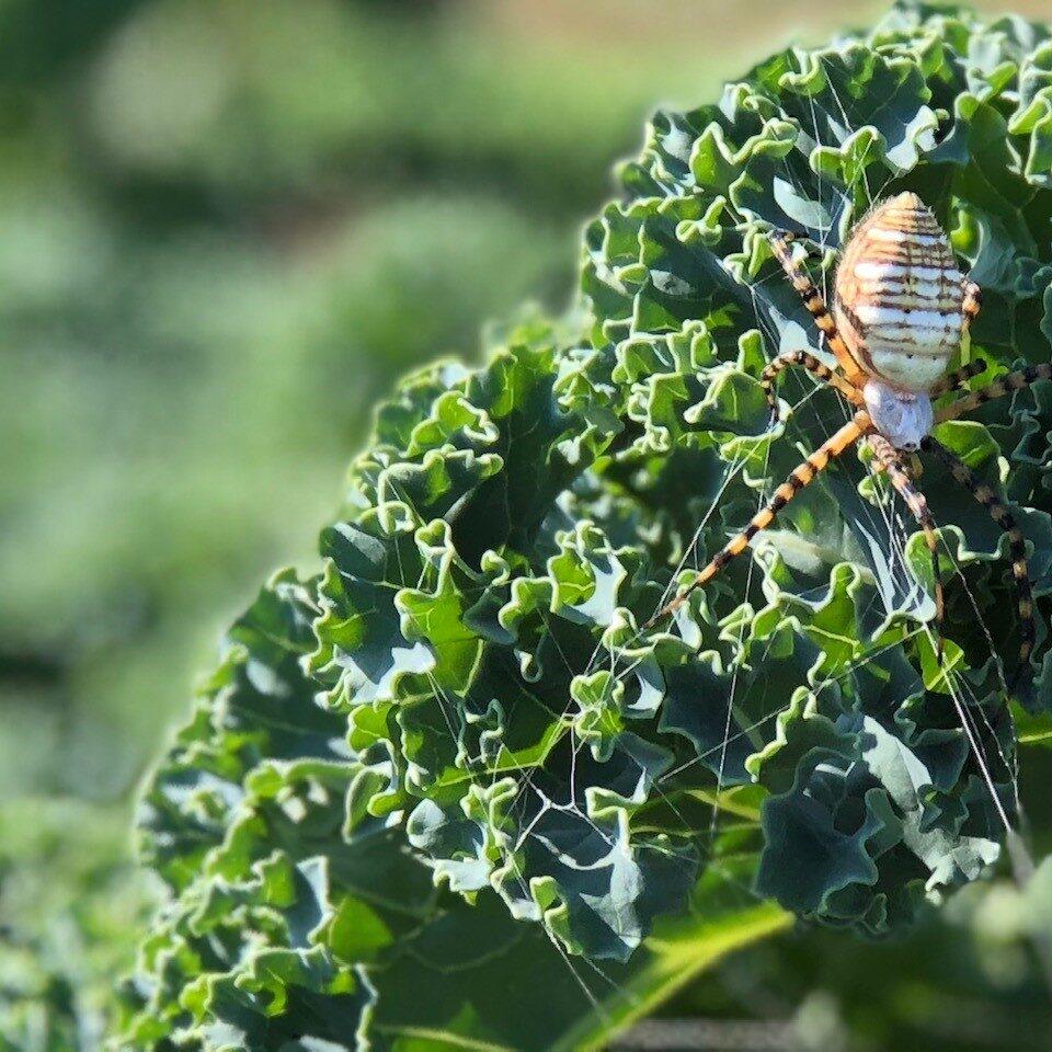 Greens_4_Spider