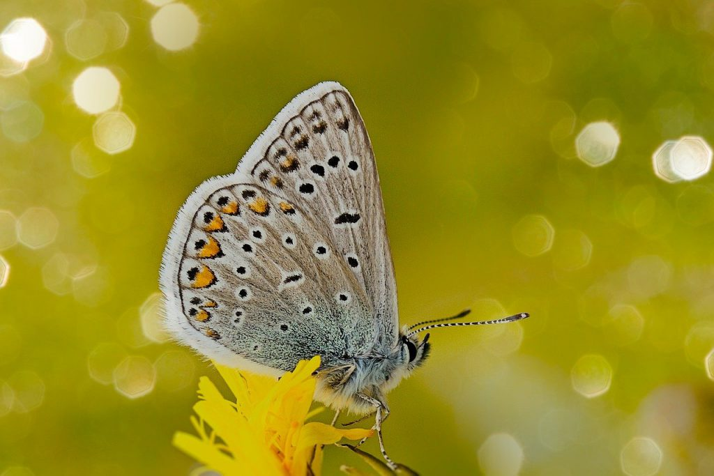 common blue, butterfly, flower