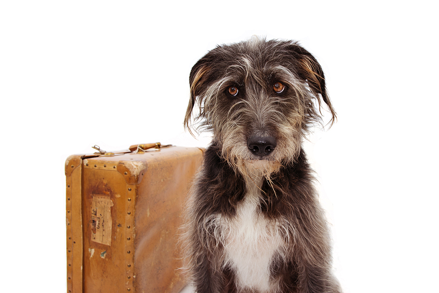 A sad dog that can not go on holidays with their family. What should you do with your pet while you're away.