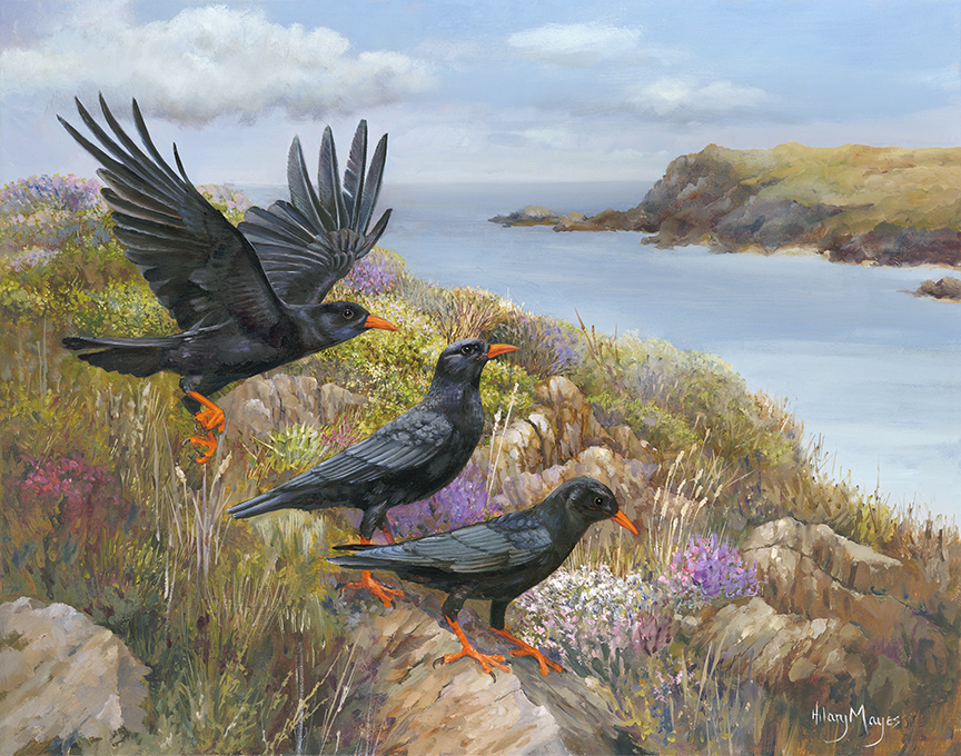 Wildlife – Chough by Hilary Mayes