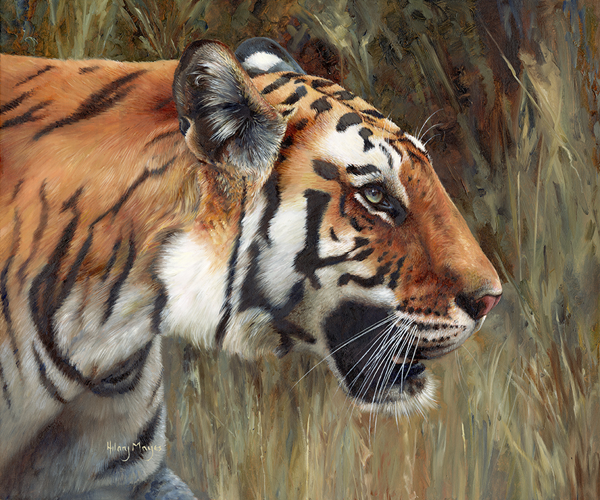 Wildlife – Tiger Looking Right by Hilary Mayes