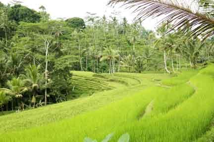 Rice-Terraces-NextLevel-Surfcamp-Bali.jpg