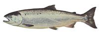 coho_salmon