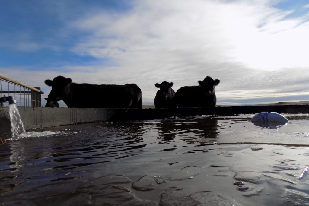 cows drinking from stock tank