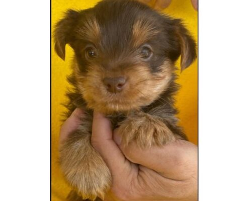 chocolate-yorkie-puppy-for-sale