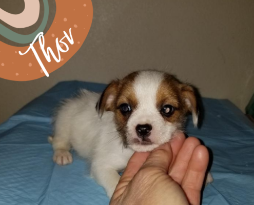 thor-the-yorkie-mix-puppy