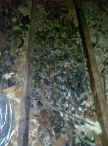 Raccoon Feces Removal Smyrna Murfreesboro