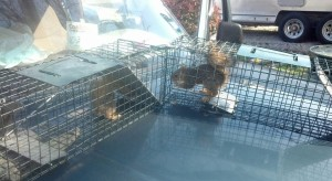 Squirrel Removal Nashville Squirrel Exterminator Brentwood Squirrel Trapping Service Smyrna Murfreesboro