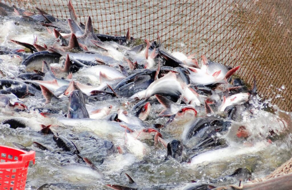 Carrefour stops selling pangasius in Spain, a banned fish