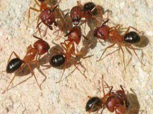 Carpenter Ants Singapore