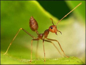 Weaver ants in Singapore