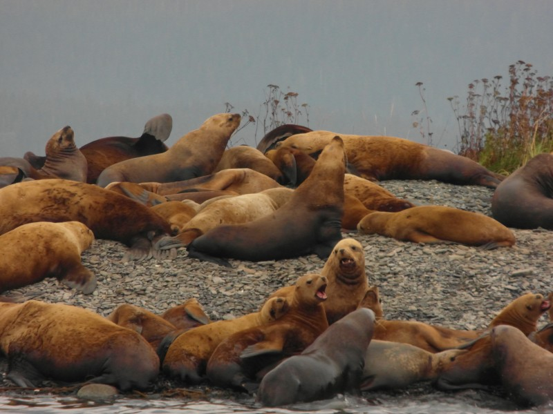 Some of the hundreds of Sea Lions hanging out together! - near Juneau Alaska