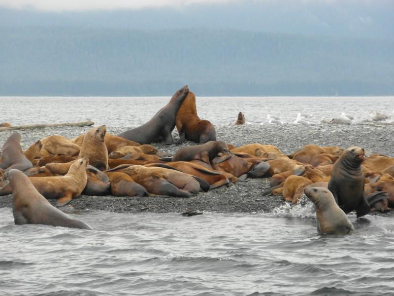 Sea Lion Embrace, Little Island, near Juneau Alaska