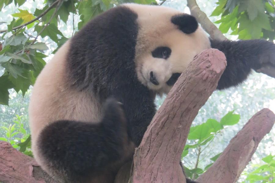 Shangri-La Hotel Chengdu : here to visit the giant pandas !