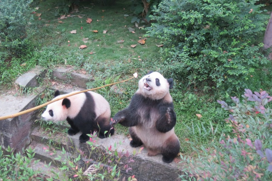 Panda Bear keeper for a day in Chengdu China : feeding time