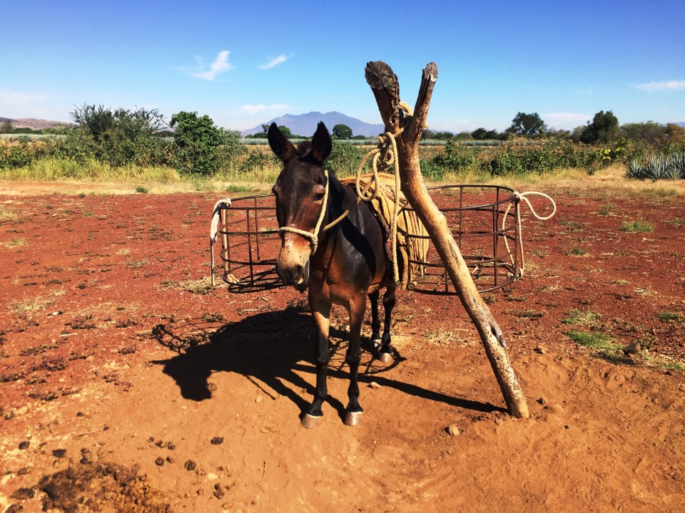 Guapo, the Jose Cuervo Tequila mule!