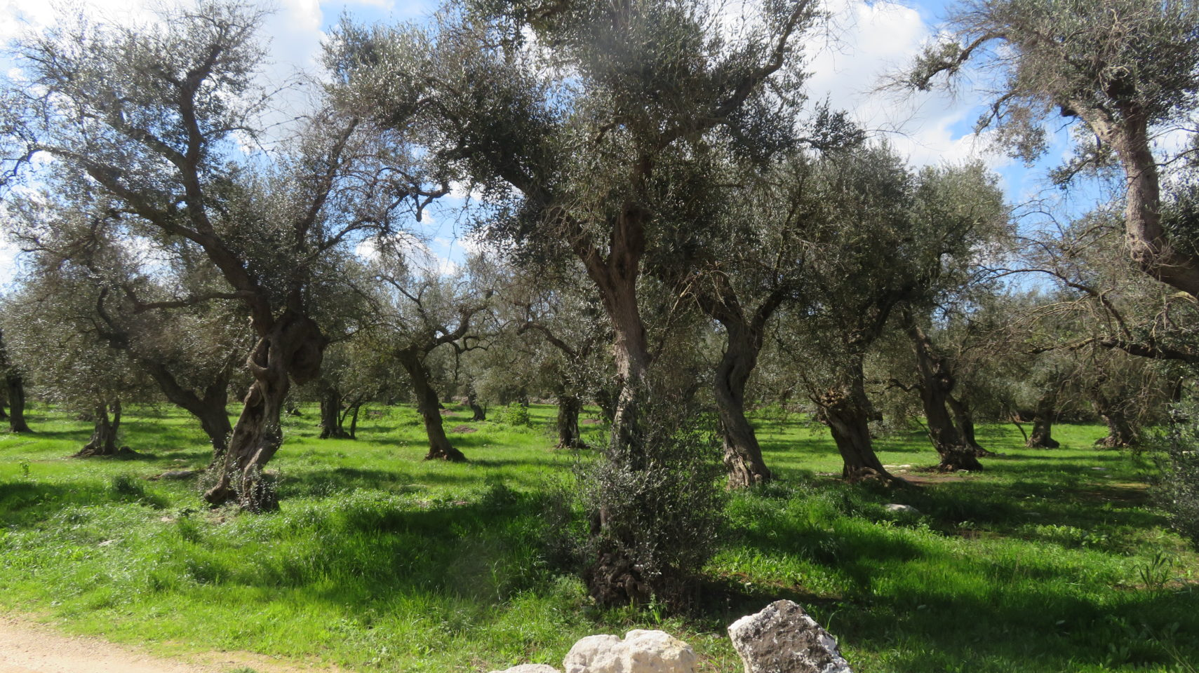 Olive tree groves on each side of the road as far as the eye can see ~ The Wholesome Charms of Salento