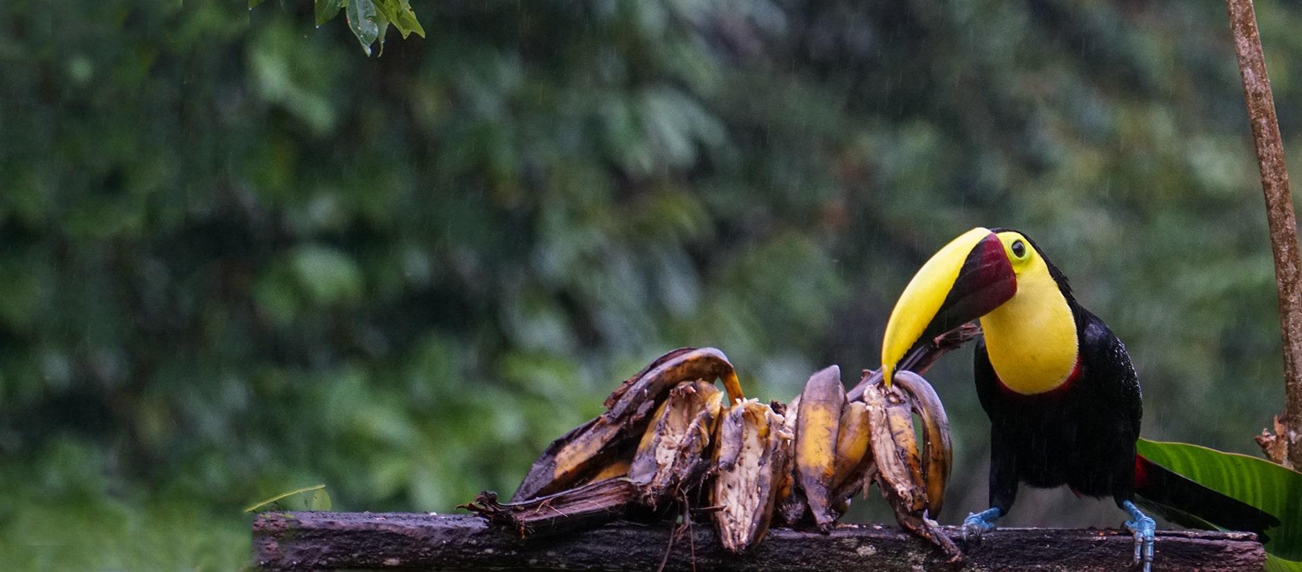 ellow-throated toucan in Posada Cielo Roto