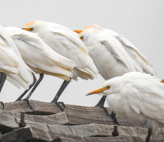 Multiple cranes huddling on wooden steps