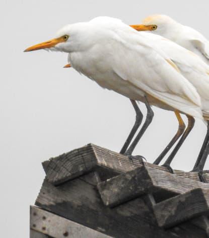 Cranes on wooden post