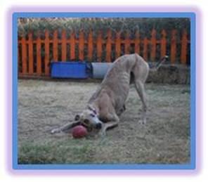 Rescue a greyhound