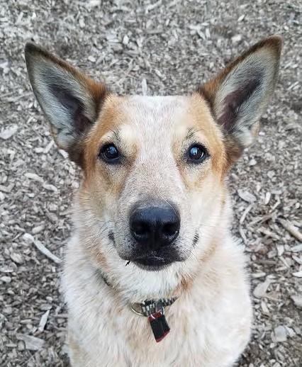 Arizona Cattle Dog Rescue fundraiser