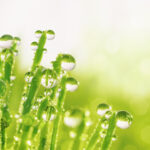 Transparent droplets of dew in grass on summer morning sparkle in sunlight in nature. Young juicy fresh grass with water drops.  Beautiful bokeh light green color close-up macro, copy space.