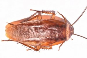 American cockroach control Cleveland, OH.