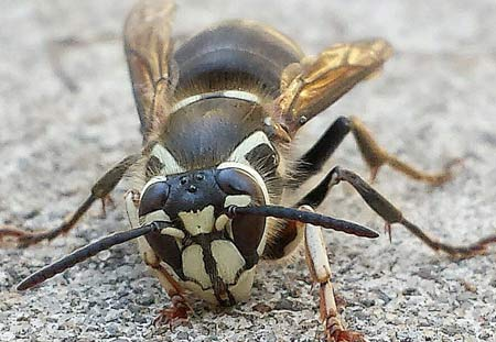Bald-faced hornet close-up in Cleveland, Ohio.
