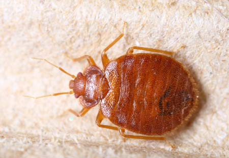 Bed bug close-up shot.