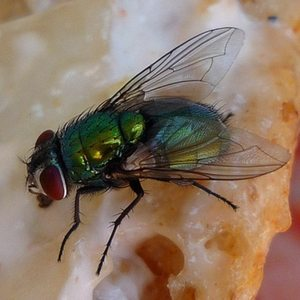 Bottle fly control.