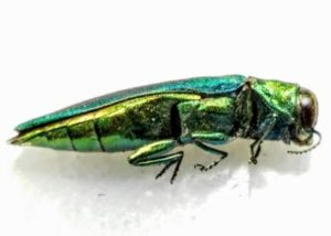 Emerald ash borer adult side view.