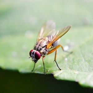 Fruit fly control in Cleveland, OH.