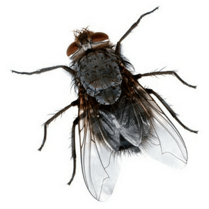 Housefly large