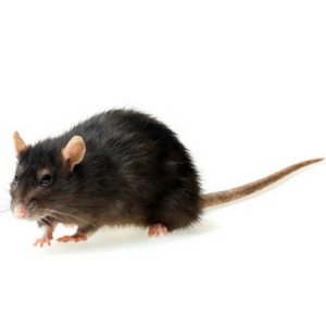rat trapping service in Cleveland, OH.